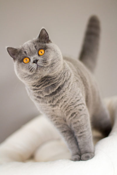 La Chatterie Exceptionnelle British Shorthair Longhair Cats