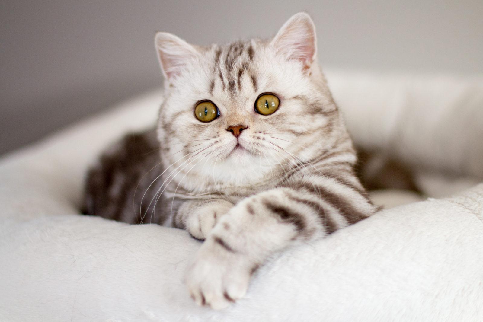 La Chatterie Exceptionnelle British Shorthair Longhair Cats